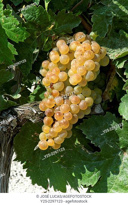 Grapes on the vine, Jerez de la Frontera, Cadiz province, Region of Andalusia, Spain, Europe
