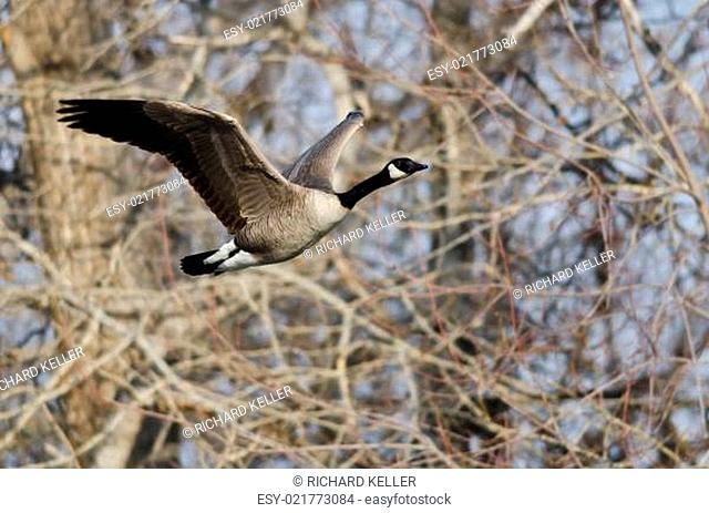 Canada Goose Flying Over a River