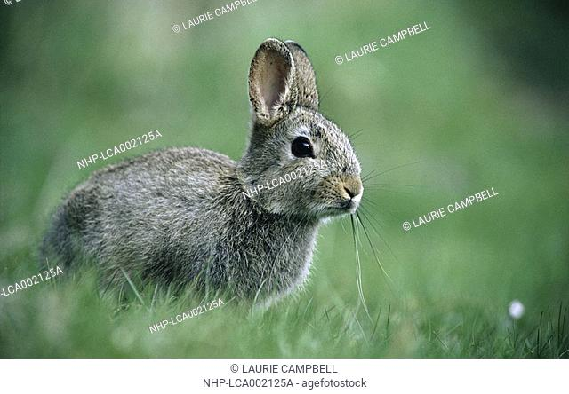 RABBIT Oryctolagus cuniculus sitting in meadow