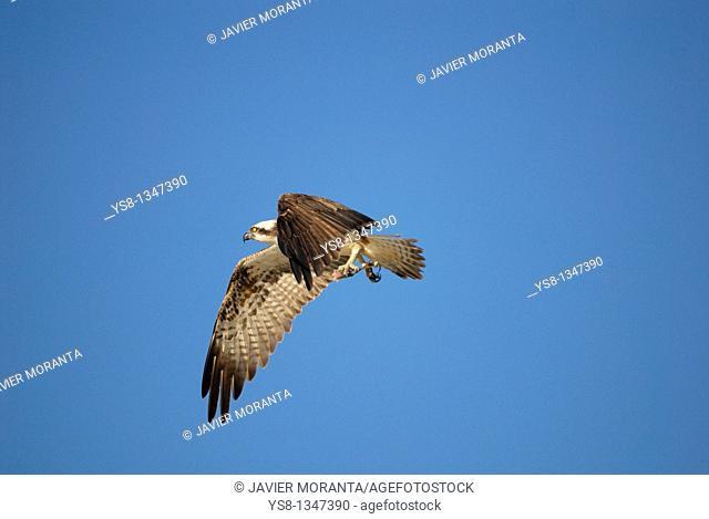 Spain, Balearic Islands, Mallorca, Osprey Pandion haliaetus, Cuber Reservoir