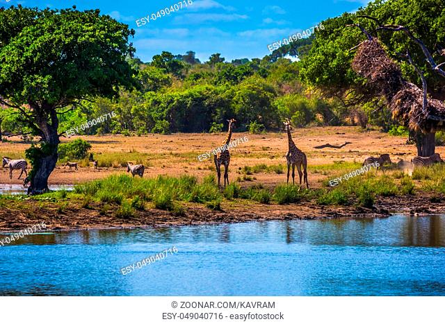 The famous Kruger National Park. Small lake, to which the animals go to drink. Herd of zebras and a few giraffes