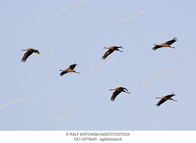 Flock of Common Cranes ( Grus grus ), adult and young birds, during migration, flying under blue sky, wildlife, Europe