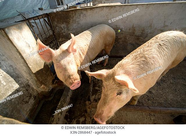 Pigs in a pen on a farm in Punjab, India
