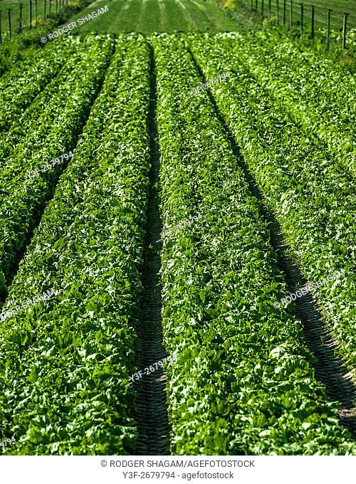 Vegetable farming. Rows and rows of fresh veggies. Philippi farming area, Cape Town, South Africa