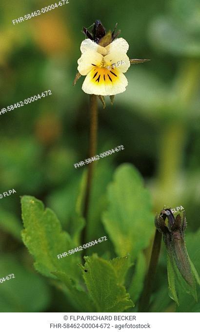 Field Pansy Viola arvensis Flower, leaves and bud - Powys, Wales