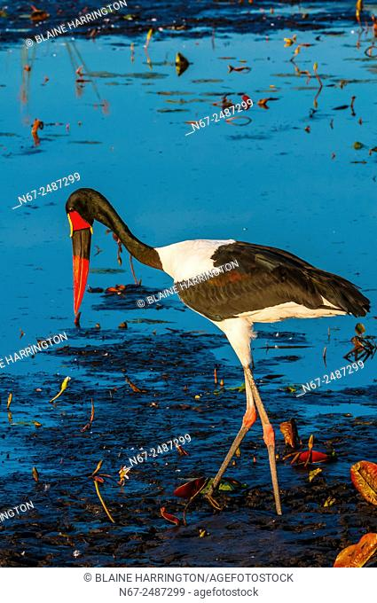 Saddle-billed stork standing in a shallow stream, near Kwara Camp, Okavango Delta, Botswana