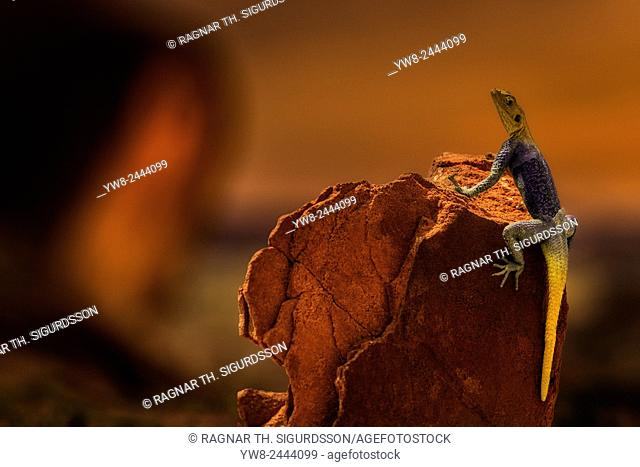 Lizard on a rock at sunset, Namibia, Africa