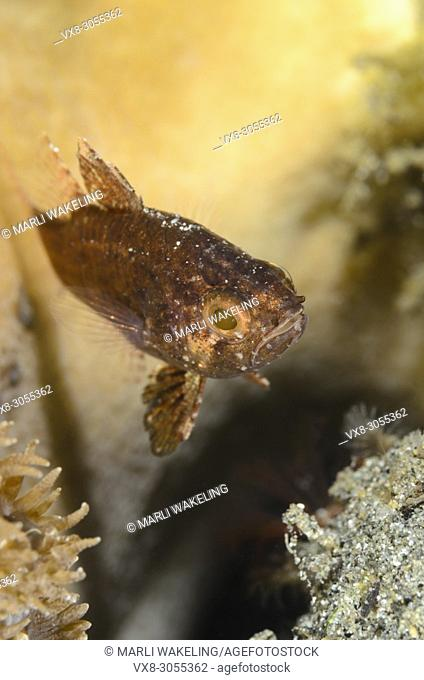 Weedy cardinalfish, Foa fo, Anilao, Batangas, Philippines, Pacific