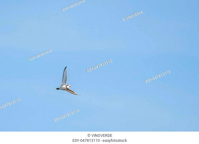 Piping Plover flying right wing straight up