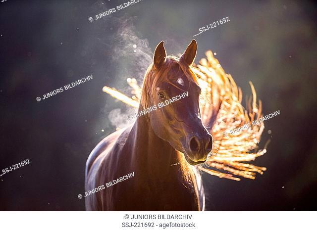 Arabian Horse. Portrait of chestnut mare in backlight. Germany
