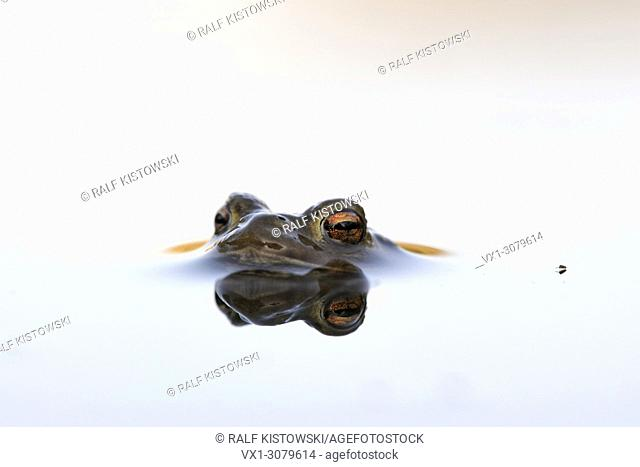 Common Toad ( Bufo bufo ) while spawning season, floats on white colored water surface, waiting for its mate, wildlife, Europe