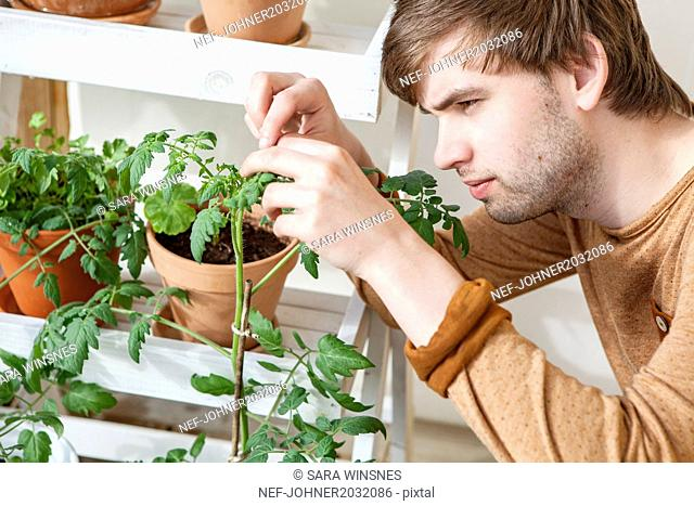 Young man taking care of tomato plants