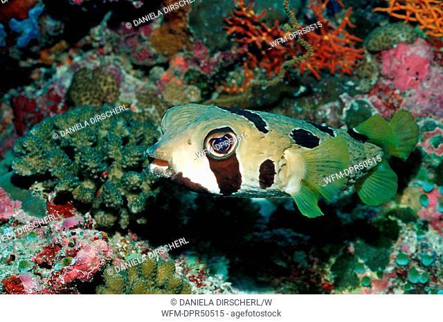 Black-blotched Porcupinefish, Diodon liturosus, North Ari Atoll, Maldives