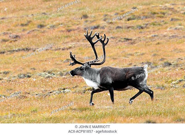Porcupine caribou bull in velvet antlers, Northwest Territories, Canada