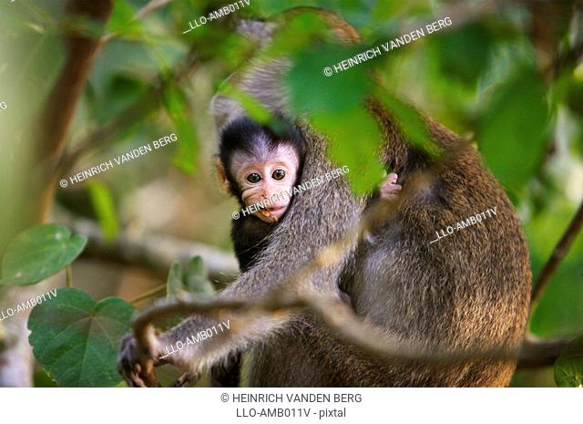 Long-Tailed Macaque Monkey Macaca fascidularis Holding Baby in Tree  Bako National Park, Borneo, Malaysia