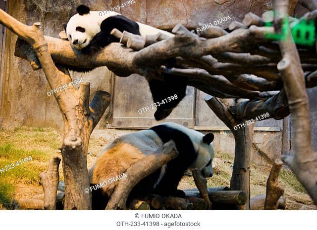 The Hong Kong Jockey Club Giant Panda Habitat, Ocean Park, Hong Kong