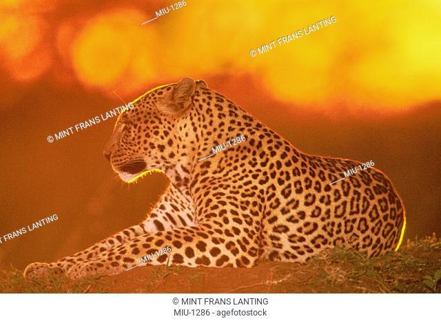 Female leopard at sunset, Panthera pardus, Masai Mara Reserve, Kenya