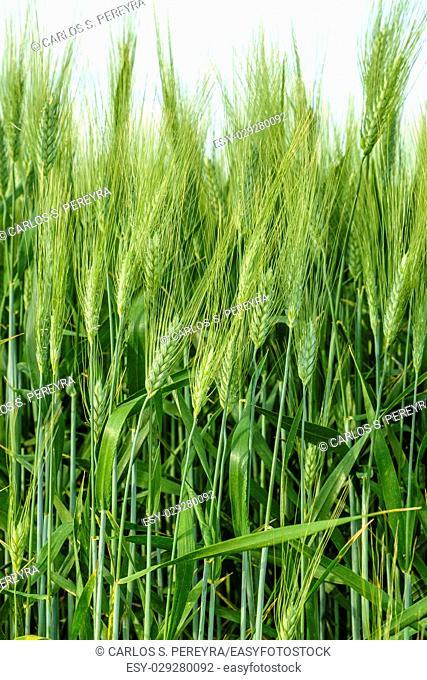 Wheat fields, Val d'Orcia, Tuscany Italy