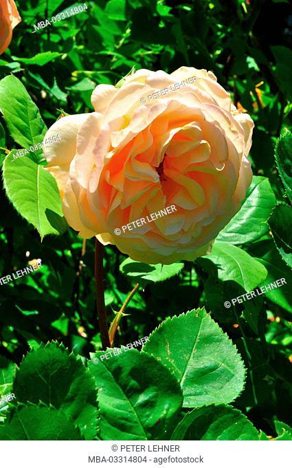 Botany, shrub rose, apricot