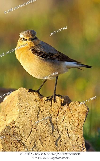 Northern Wheater Oenanthe oenanthe, Andalusia, Spain, Europe