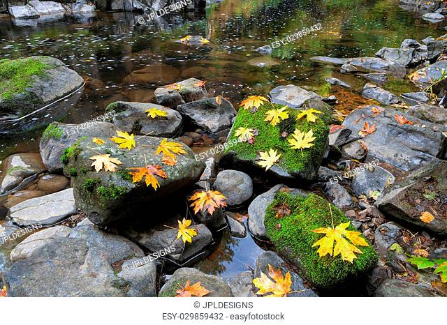 Maple Leaves on Moss Covered Rocks at Cedar Creek in Washington State during Fall Season