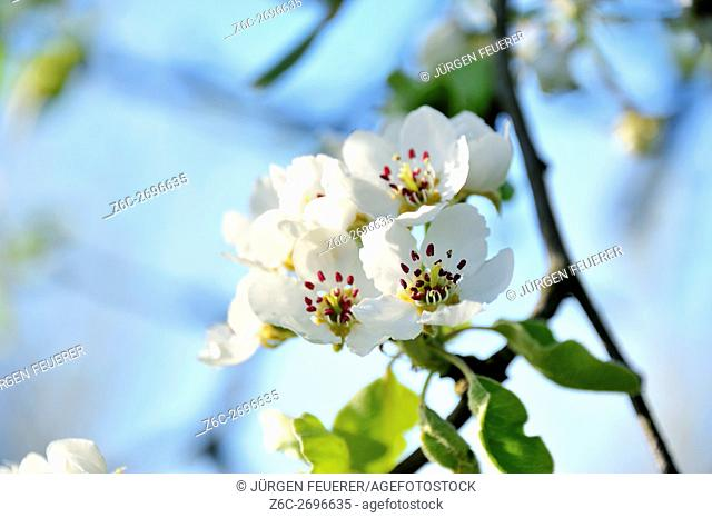 Blossom of apple, fruit tree in full white blossom at spring time, in southern Germany, region of Baden