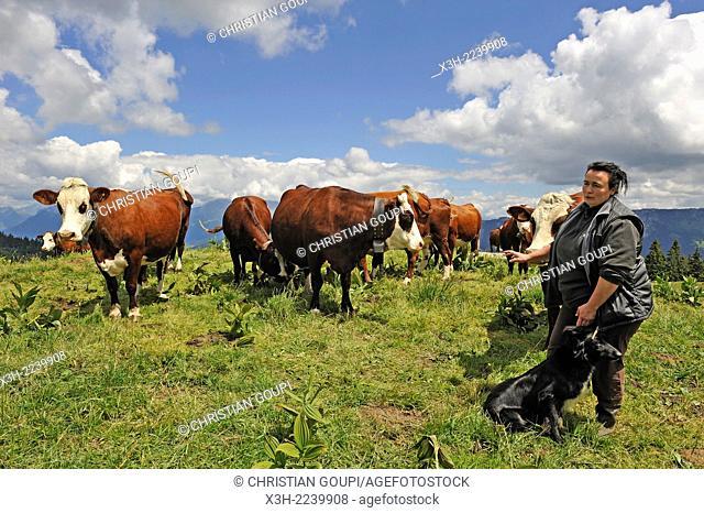 cowherd and Abondance cows grazing on Semnoz Mountain in the Bauges range, Haute-Savoie department, Rhone-Alpes region, France, Europe