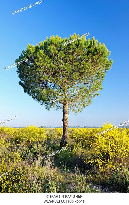 Spain, Pine tree in spring at Donana National Park