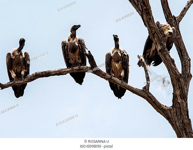 Vultures in tree, Chobe National Park, Botswana