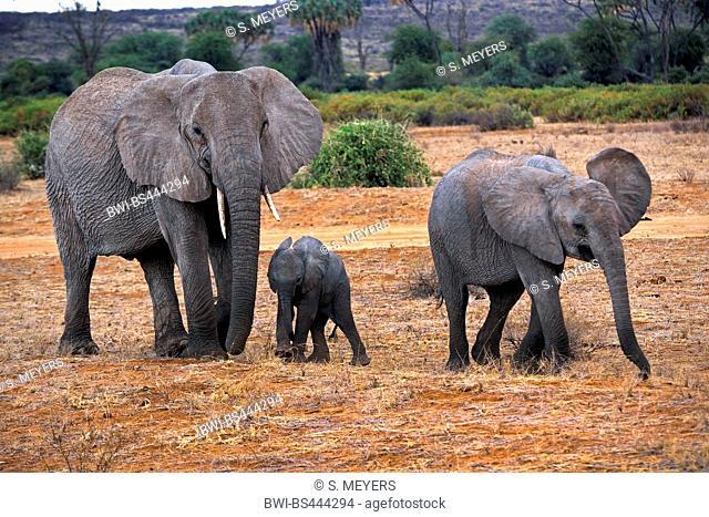 African elephant (Loxodonta africana), cow elephant with elephant calves in the savannah, side view, Kenya, Samburu National Reserve