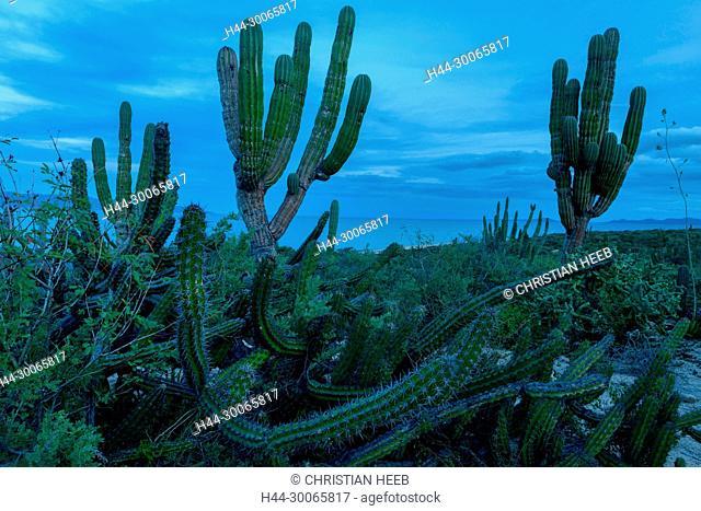 Central America, Mexico, Baja California,Sea of Cortez, El Sargento,Pachycereus pringle, cardon cactus