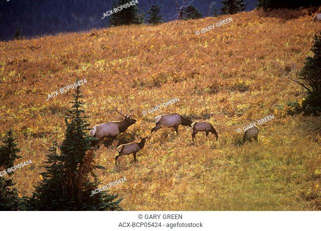 A herd of Roosevelt Elk at sunset, British Columbia, Canada
