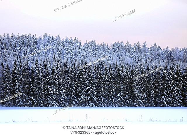 Background of a snow covered spruce forest and pale pink sky on a cold winters day. Raasepori, Finland
