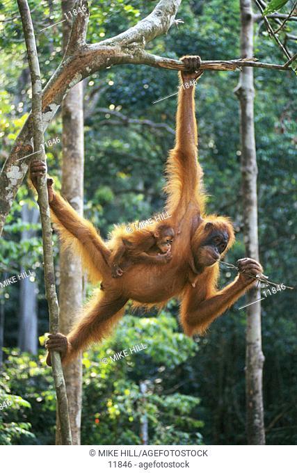 Sumatran Orangutan (Pongo pygmaeus abelii) with young. Sumatra