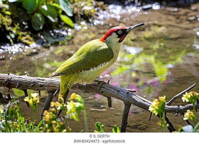 green woodpecker (Picus viridis), male sits on a branch at a pond, Switzerland, Sankt Gallen