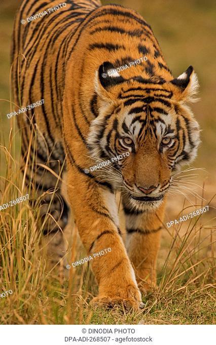 tiger in Ranthambhore national park, rajasthan, India, Asia