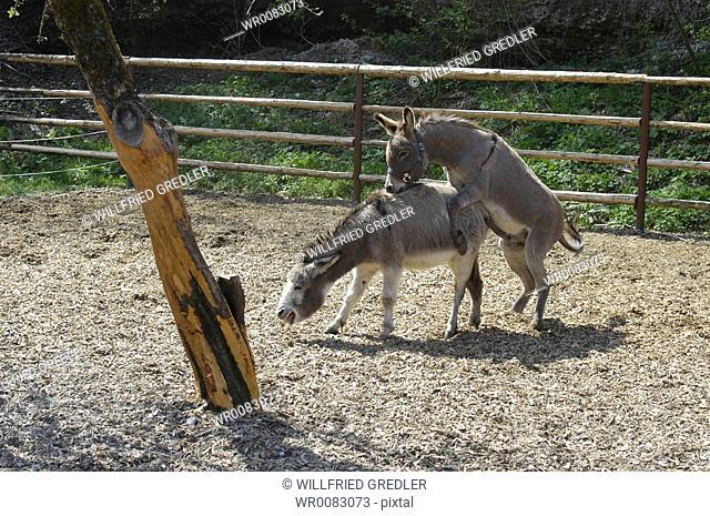 Donkey at mating