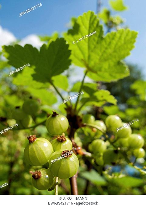 northern red currant (Ribes rubrum), immature fruits on a bush, Germany