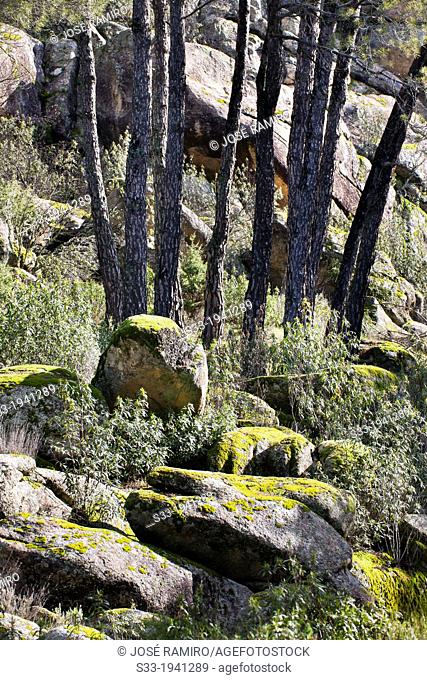 Pines at Valdelavieja. Cadalso de los Vidrios. Madrid. Spain