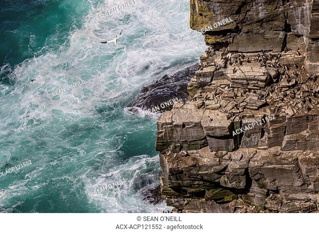 common murre (Uria aalge) on shorline at CapeSt. Mary's ecological reserve, Newfoundland, Canada