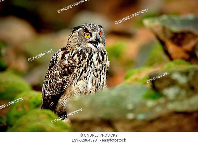 Big Eurasian Eagle Owl, Bubo bubo, with open bill in rock