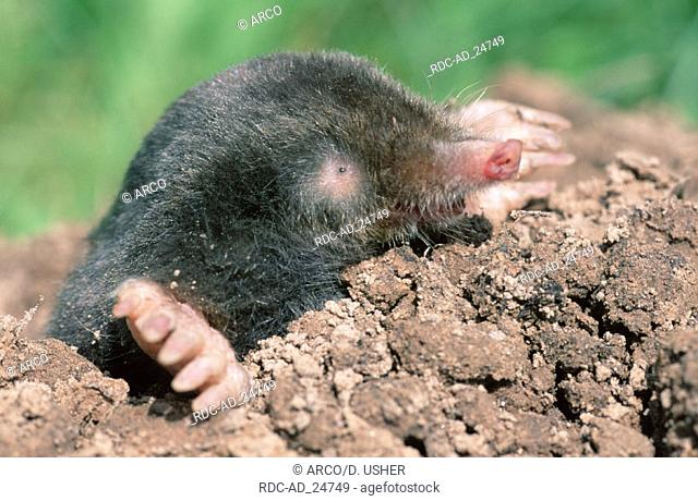 European Mole Lower Saxony Germany Talpa europaea
