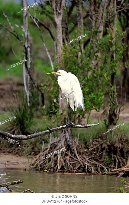 Great White Egret, (Ardea alba), adult on branch, Hluhluwe Umfolozi Nationalpark, Hluhluwe iMfolozi Nationalpark, KwaZulu Natal, South Africa, Africa