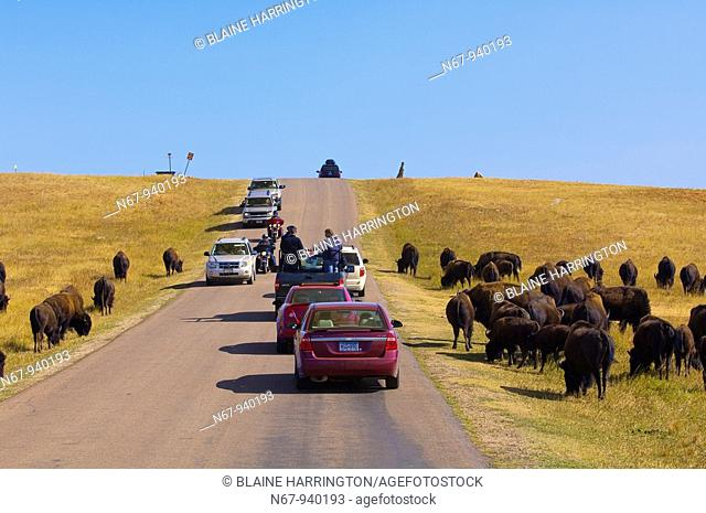 Tourists passing American bison American buffalo on the Wildlife Loop Road, Custer State Park, Black Hills, South Dakota USA