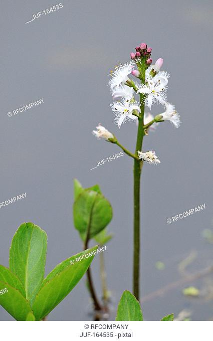 bog-bean / Menyanthes trifoliata