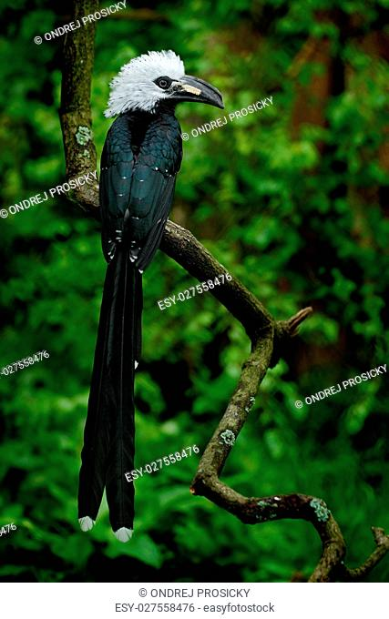Hornbill in the nature habitat. Western Long-tailed Hornbill, Ho