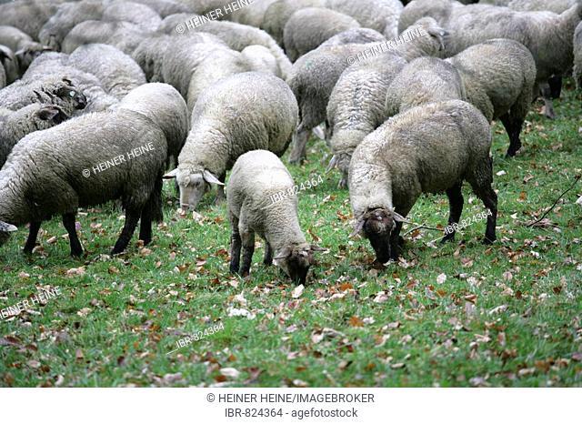 Herd of sheep, held for lawn maintenance, Bergpark Wilhelmshoehe Mountain Park, Kassel, northern Hesse, Germany, Europe