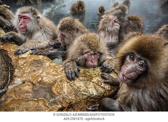 Japanese macaque (Macaca fuscata). Snow monkey. Wild monkeys bathing in a natural hot spring. Jigokudani Monkey Park . Yamanouchi. Nagano. Japan