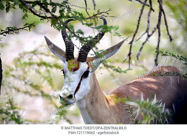 Springbok (Antidorcas marsupialis) in the Kaledorngebuesch in the Namibian Etosha National Park. This antelope species is distributed exclusively throughout...