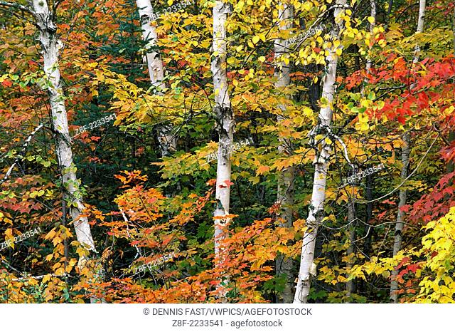 Fall colors on paper birch (Betula papyrifera) and red maple trees (Acer rubrum) with yellow and red colour